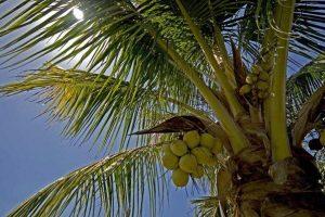 Kokosöl - Anbaugebiete von Kokosnüssen