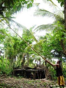 kokosernte