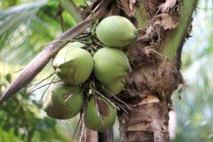 Palmöl ist kein Kokosöl