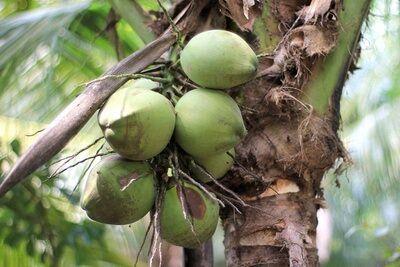 Verwendung Kokosöl
