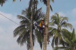 Ernte der Kokosnuss